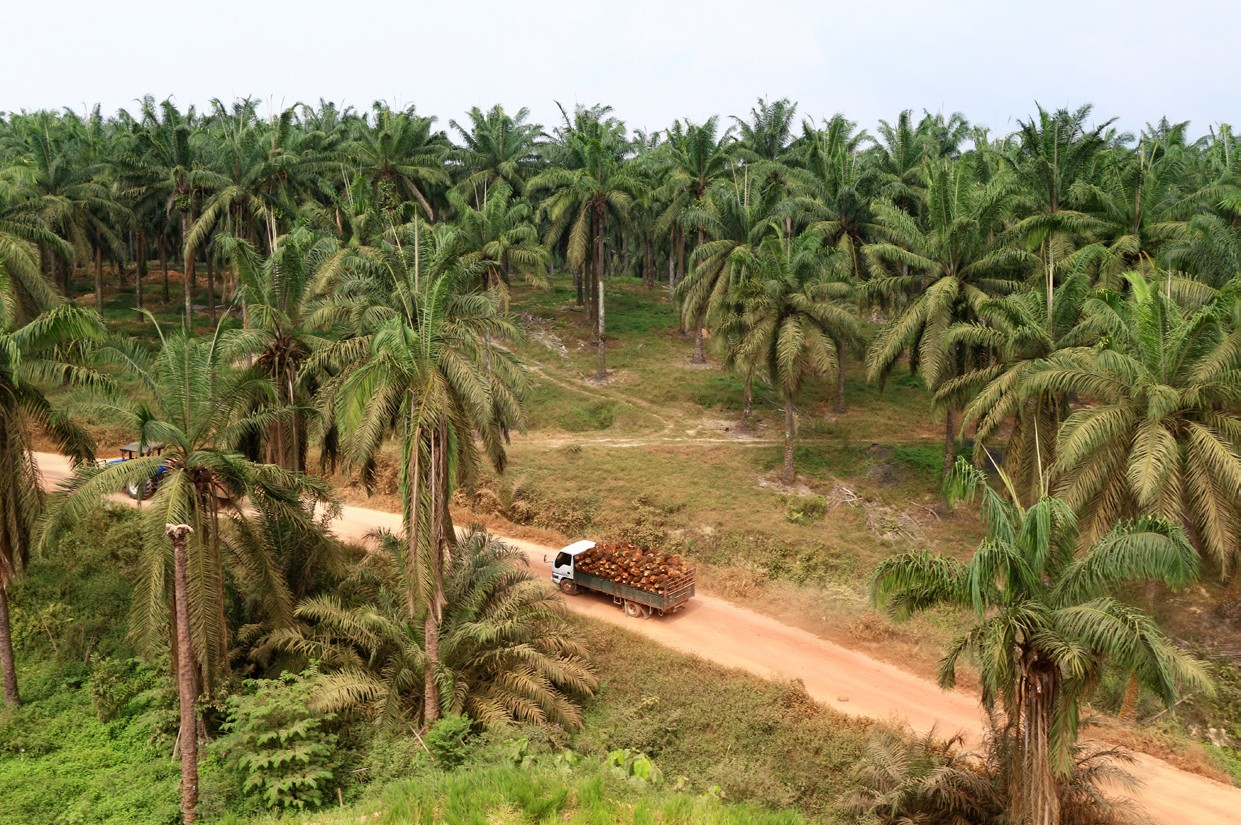 Truck transporting palm oil fruits in palm oil plantation